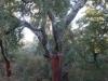 02-rando-maureillas-chene-liege-08-01-2012