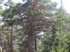033-specimen-de-pin-sylvestre